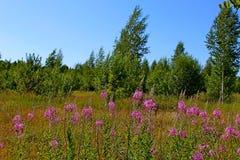 Prato di estate con i fiori ed il cielo blu porpora fotografia stock libera da diritti