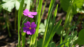 Prato di estate con i fiori porpora Fotografie Stock Libere da Diritti