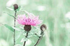 Prato di estate con il wildflower rosa del cardo selvatico di latte Immagine Stock Libera da Diritti