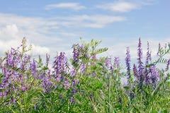 Prato di fioritura Fotografia Stock