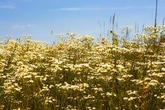 Prato di fioritura belle erbe fotografie stock