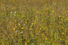 Prato di fioritura Colori di estate del campo russo Immagine Stock Libera da Diritti