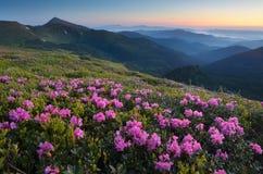 Prato di fioritura del rododendro nelle montagne Immagini Stock