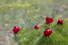 Prato di fioritura della montagna della primavera immagine stock libera da diritti