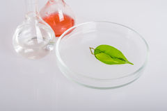 Prato do laboratório para a extração de ingredientes naturais na perfumaria Imagens de Stock Royalty Free