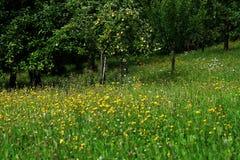 Prato e mele verdi Fotografie Stock Libere da Diritti