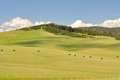 Prato e mucca Fotografia Stock