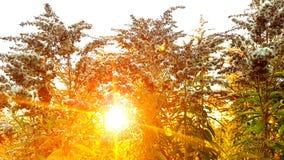 Prato e tramonto delle piante selvatiche Fotografia Stock Libera da Diritti