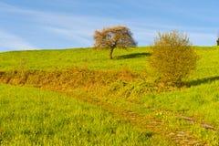 Prato ed albero in Svizzera Fotografia Stock