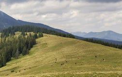 Prato erboso verde con il pascolo delle mucche su fondo della montagna legnosa per separare cielo blu Belle montagne di vista del fotografia stock