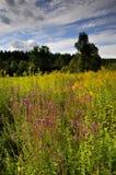 Prato in fioritura fotografie stock libere da diritti