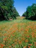 Prato generale indiano dei Wildflowers immagine stock