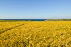 Prato giallo del fiore selvaggio e vista sul mare - orizzontale Fotografia Stock Libera da Diritti