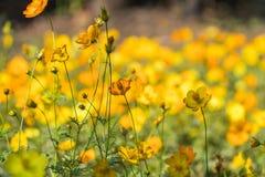 Prato giallo del giacimento di fiore Fotografia Stock Libera da Diritti