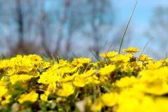 Prato giallo selvaggio del fiore immagini stock libere da diritti