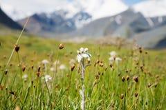 Prato inglese che stanno coltivando Edelweiss Fotografia Stock