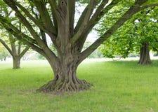 Prato inglese con gli alberi in parco Fotografia Stock Libera da Diritti