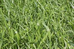 Prato inglese dell'erba del foraggio del triticale fotografie stock libere da diritti