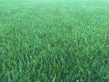 Prato inglese dell'erba verde Fotografie Stock Libere da Diritti