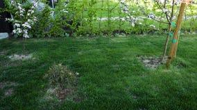 Prato inglese dell'erba verde con rododendro e di fioritura bianco splendido e di rosa di melo su fondo video d archivio