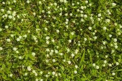 Prato inglese di fioritura dell'erba Immagine Stock