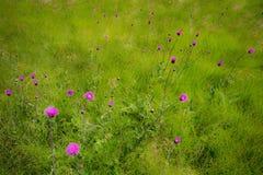 Prato inglese e fiore Fotografie Stock Libere da Diritti