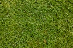 Prato inglese. Erba verde. Immagine Stock Libera da Diritti