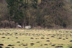 Prato in Meclemburgo-Pomerania con i cumuli di terra sollevati dalla talpa e le rocce Immagine Stock Libera da Diritti