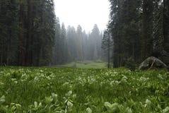 Prato a mezzaluna nella sosta nazionale della sequoia Fotografia Stock