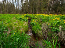 Prato paludoso della primavera con le primavere odorose Fotografia Stock