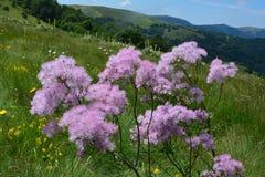 Prato riempito di fiori delicato-viola Immagine Stock