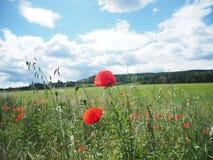 Prato rosso del campo del papavero in un giorno soleggiato con un cielo blu fotografia stock