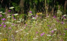 Prato selvaggio di fioritura nelle parti anteriori alla metà dell'estate immagine stock libera da diritti