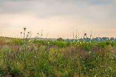Prato semplice con le erbe verdi ed i fiori porpora Fotografie Stock Libere da Diritti
