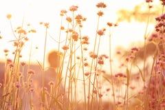 Prato soleggiato al tramonto Fotografia Stock