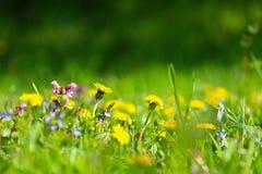 Prato soleggiato con i fiori del dente di leone Fotografie Stock