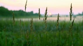 Prato vago tramonto rosa dell'erba verde del fondo Tramonto sull'orizzonte Alberi e cespugli verdi Diffusioni della nebbia sul pr Immagine Stock