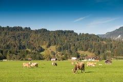 Prato verde con il bestiame nel Allgau Fotografie Stock Libere da Diritti