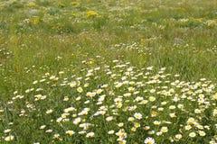 Prato verde della natura dei fiori gialli della margherita Immagini Stock