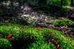 Prato verde muscoso nella foresta di autunno con luce solare fotografia stock libera da diritti