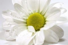Pratolina bianca Immagine Stock