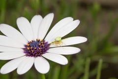 Pratolina con il ragno verde Fotografie Stock