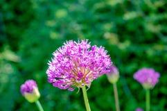 Prattii лукабатуна имени цветка с розовым цветом, зацветать полный и выглядеть как шарик стоковые изображения rf