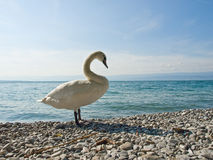 Praud swan on the coast Royalty Free Stock Photography