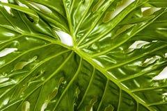 Prawa Strona widok szczegóły filodendron rośliny liść Fotografia Stock
