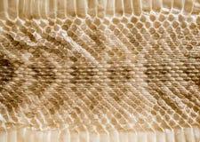 Prawdziwa wąż skóry skóra dla tekstury i tła Obraz Royalty Free