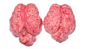 prawdziwe mózgu zdjęcia stock
