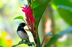 Prawdziwy Finch ptak (Fringillidae) zdjęcia stock