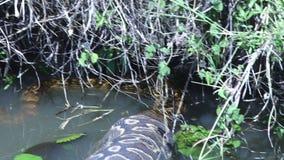 Prawdziwy wielki pyton unosi się w wodzie zdjęcie wideo