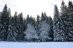 prawdziwy zimny ranek w lesie zdjęcia royalty free